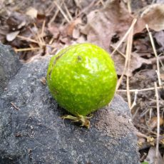 Tree Galls – What Are They?