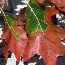 Getting Burned: Everything you need to know about Bacterial Leaf Scorch